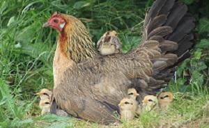 poule ardenaise et ses poussins